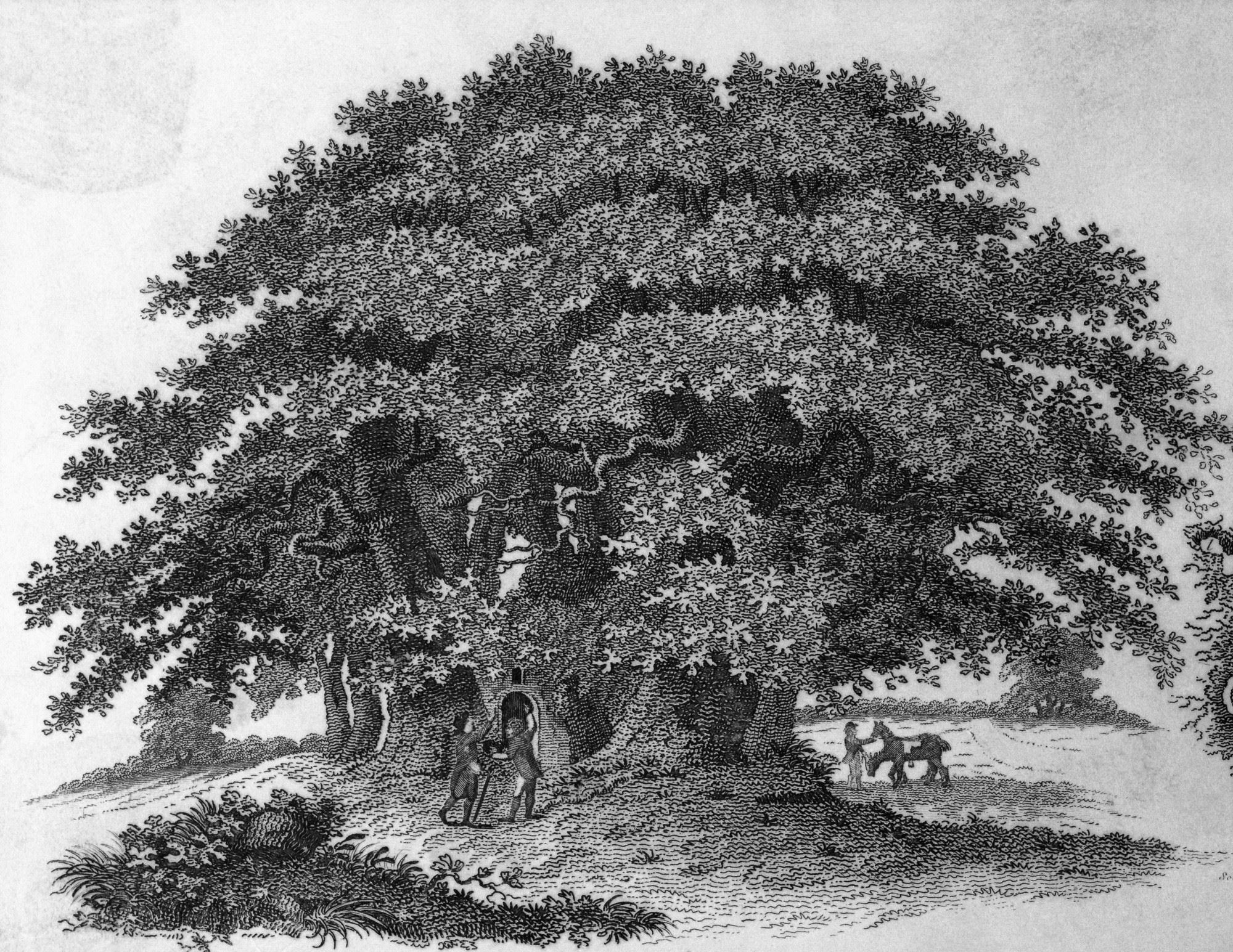 Black and white drawing of a chestnut tree in a field